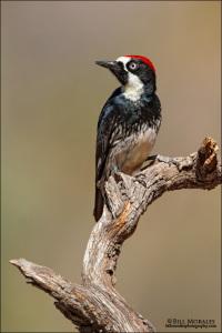 Acorn-Woodpecker-01