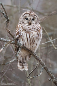 Barred-Owl-01