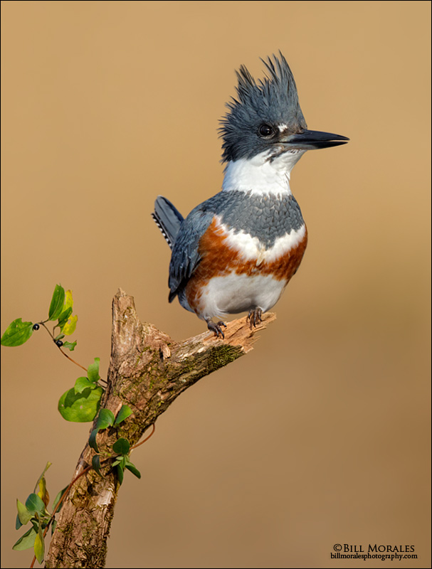Belted-Kingfisher-01