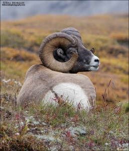 Big-Honed-Sheep