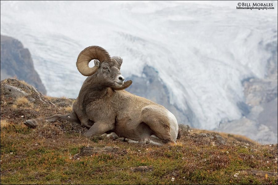 Bighorn-Sheep-02