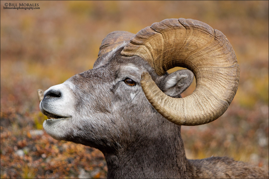 Bighorn-Sheep-03