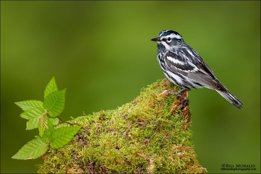 Black-&-White-Warbler-01