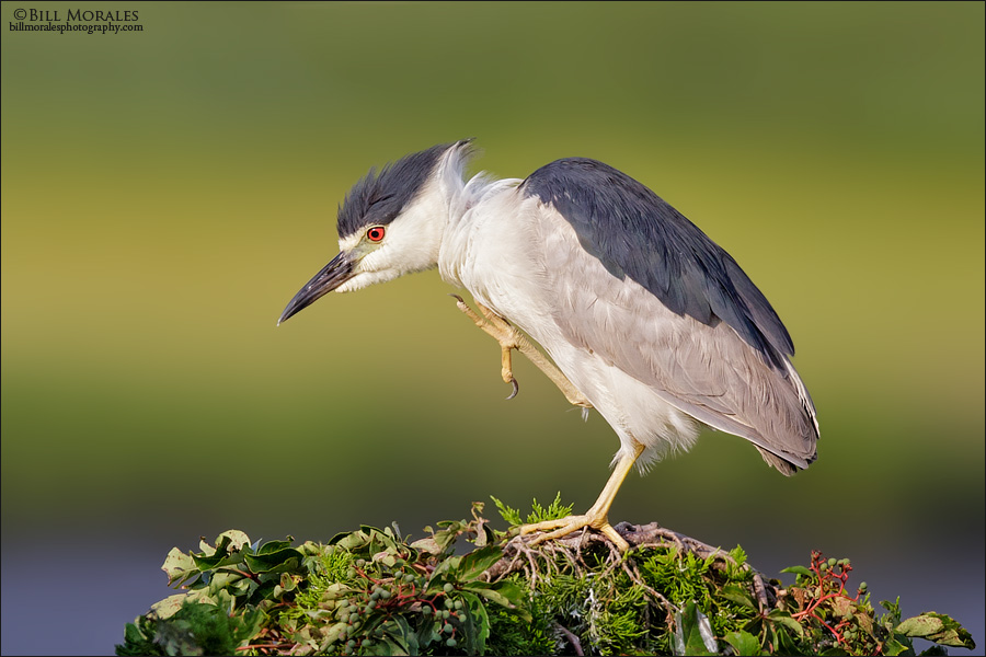 Black-crowned-Night-Heron-01