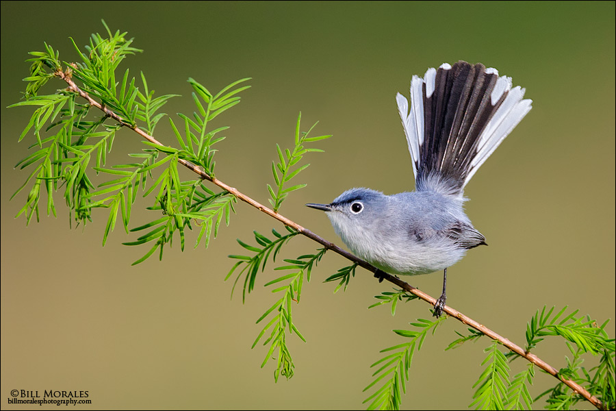 Blue-grey-Gnatcatcher-01