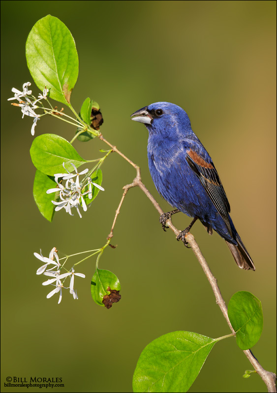 Blue-grosbeak-01