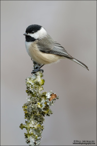Carolina-Chickadee-01