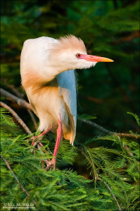 Cattle-Egret-01