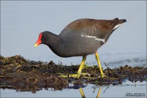 Common-Moorhen-01