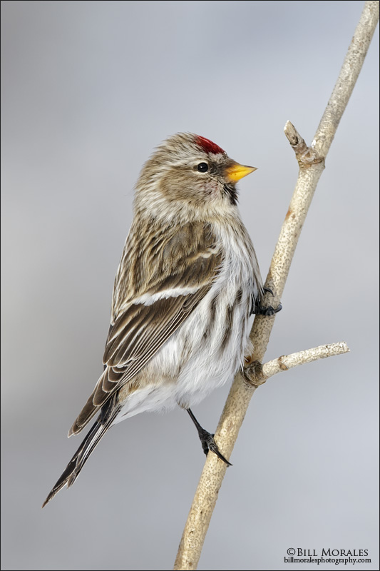 Common-Redpoll-01