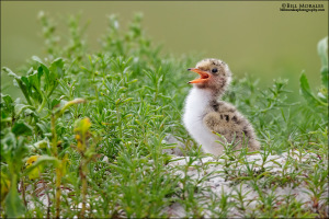 Common-Tern-Chick