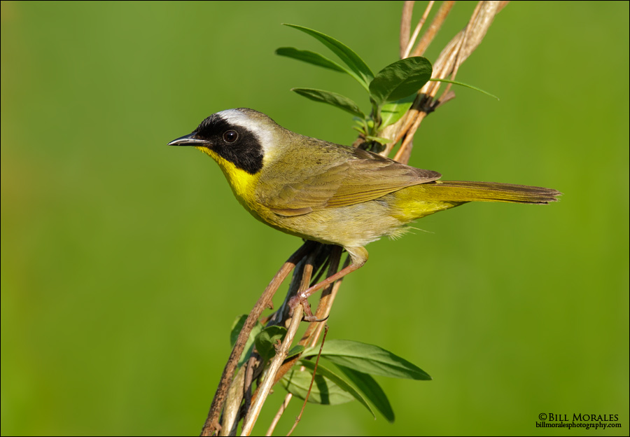 Common-Yellowthroat-01