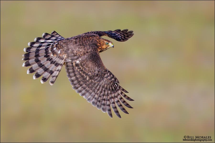 Cooper's-Hawk-01