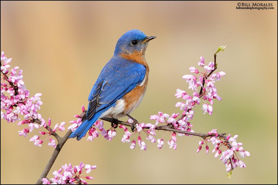 Eastern-Bluebird-10