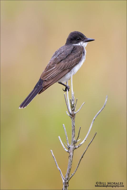 Eastern-Kingbird-01