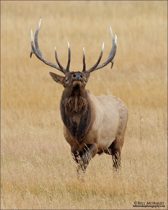 Elk-01