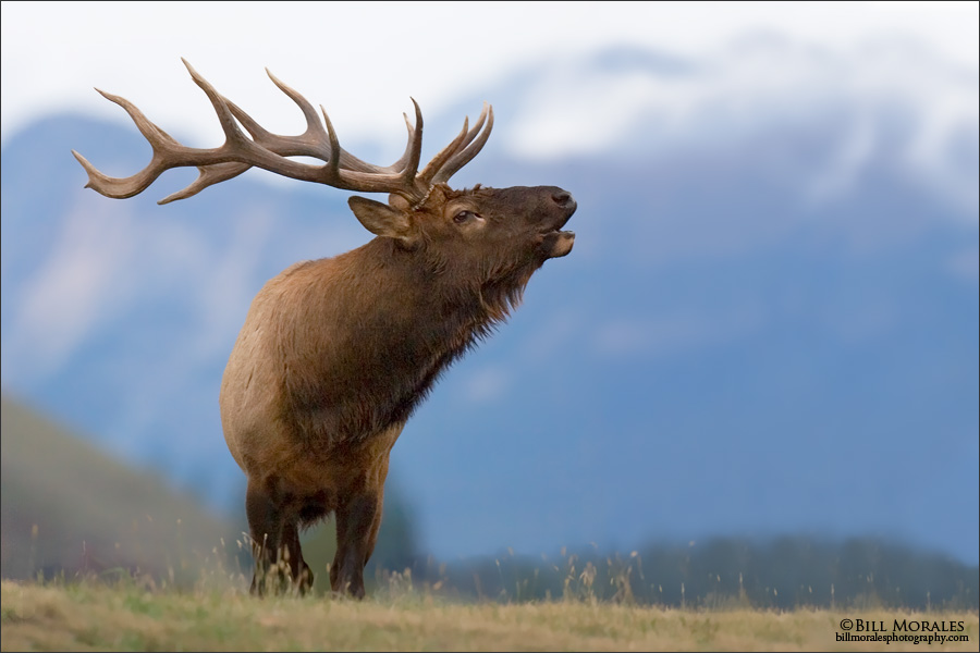 Elk-02