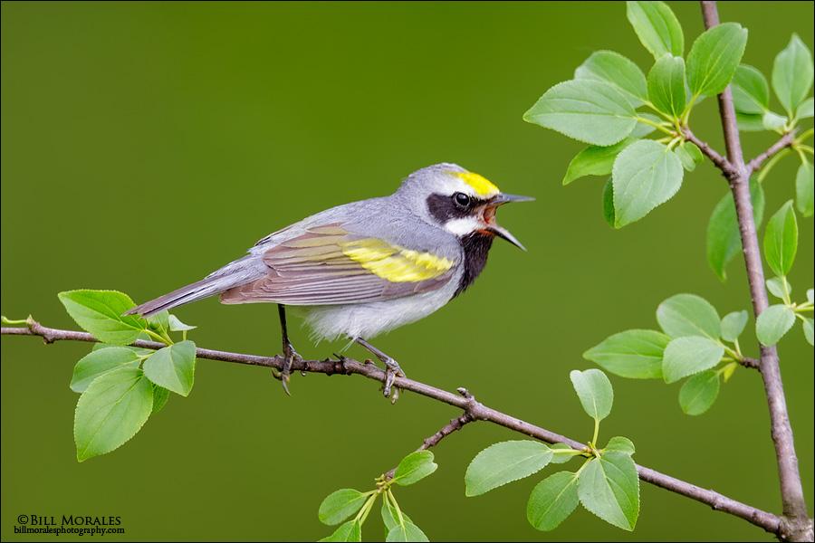 Golden-winged-Warbler-10