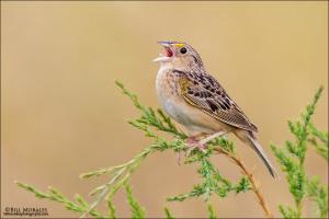 Grasshopper-Sparrow-01