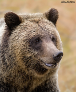 Grizzley-01