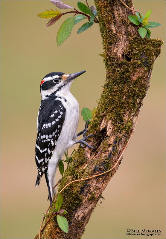 Hairy-Woodpecker