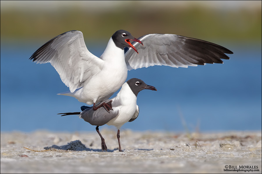 Laughing-Gull-01