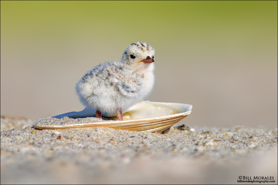 LeastTern-Chick-02