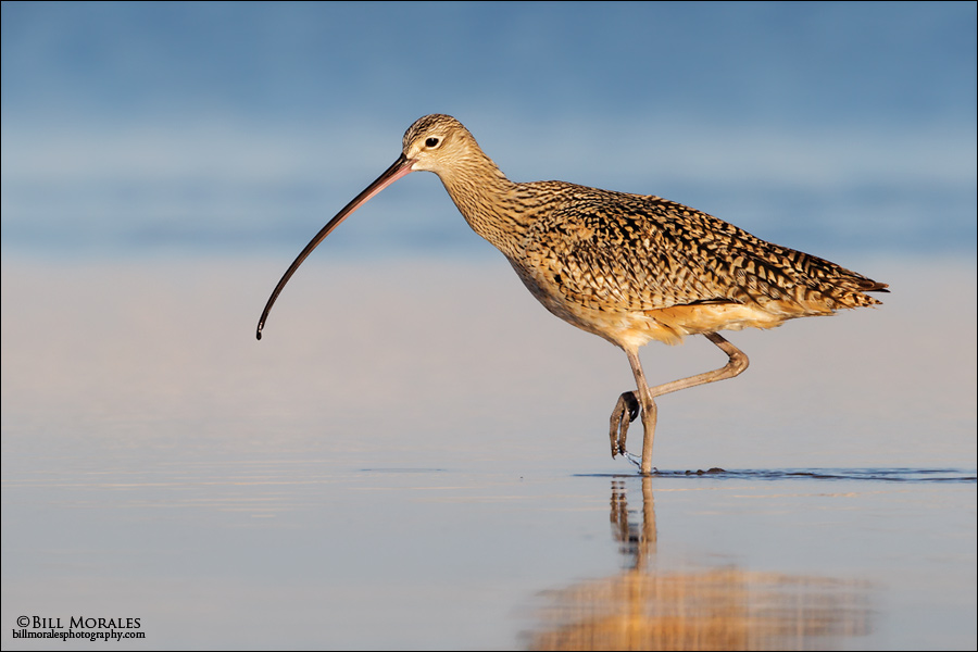 Long-billed-Curlew