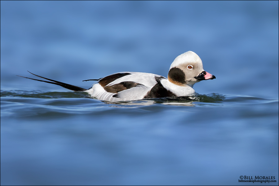 Long-tailed-Duck-01