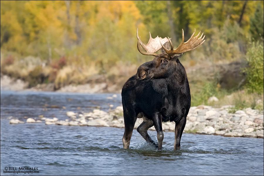 Moose-01
