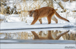 Mountain-Lion-01