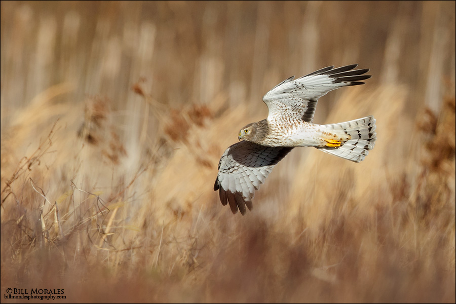 Northern-Harrier-02