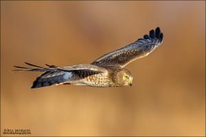Northern-Harrier-02