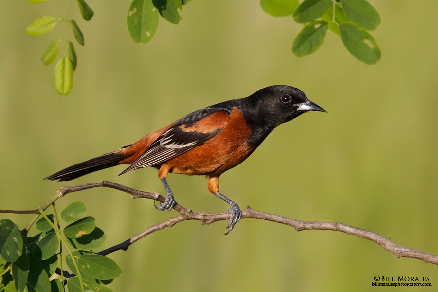 Orchard-Oriole-01
