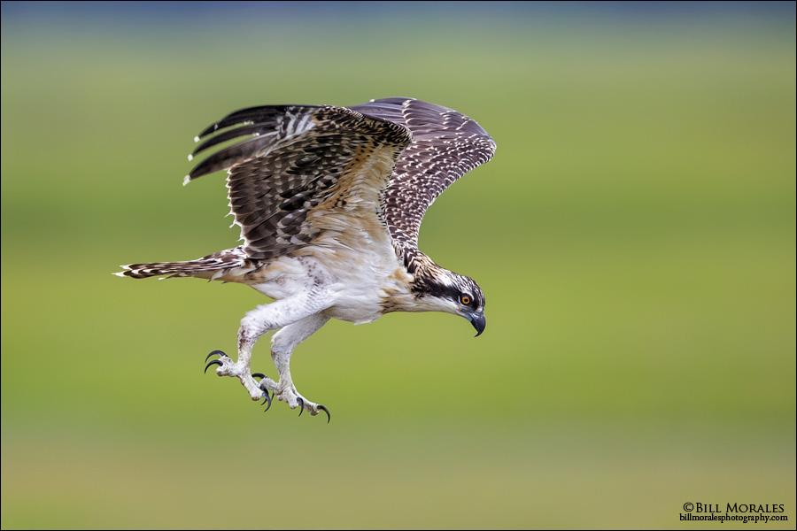 Osprey-01