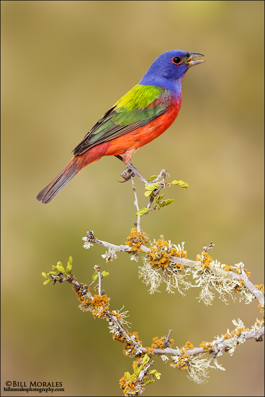 Painted-Bunting-01