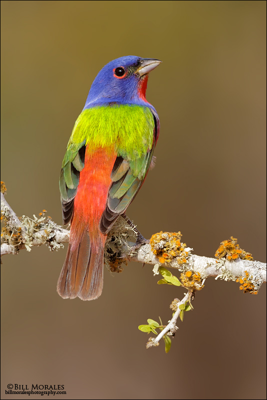 Painted-Bunting-02