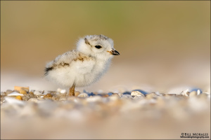 Piping-Plover-01