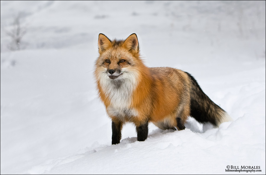 Red-Fox-01
