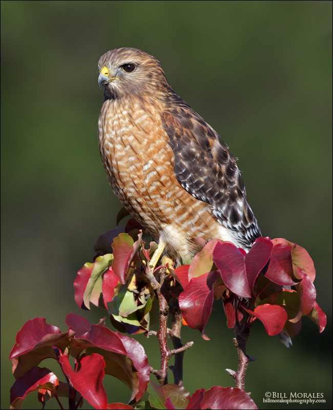 Red-ShoulderedHawk-01