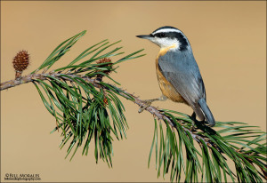 Red-breasted-Nuthatch-01