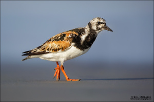Ruddy-Turnstone-01