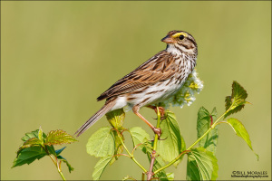 Savannah-Sparrow-01