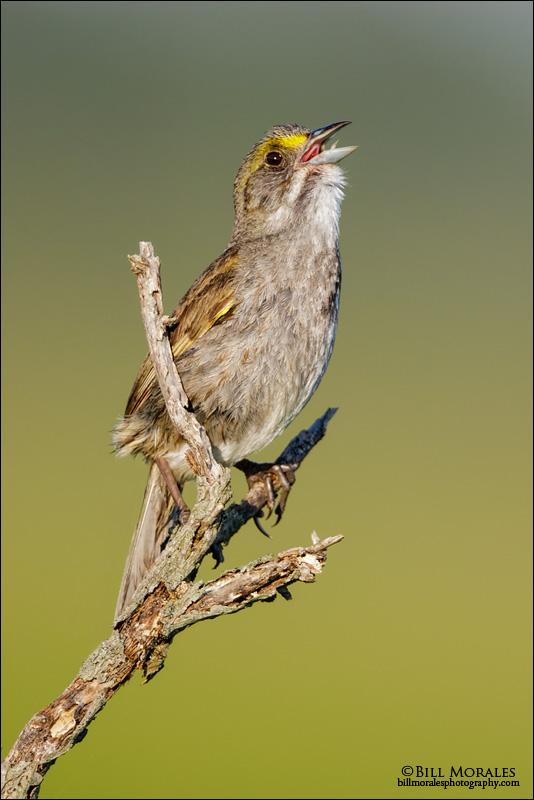 Seaside-Sparrow-01
