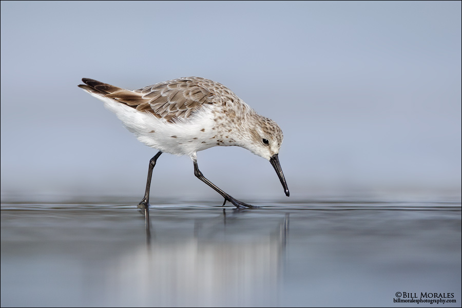 Semi-palmated-Sandpiper-01