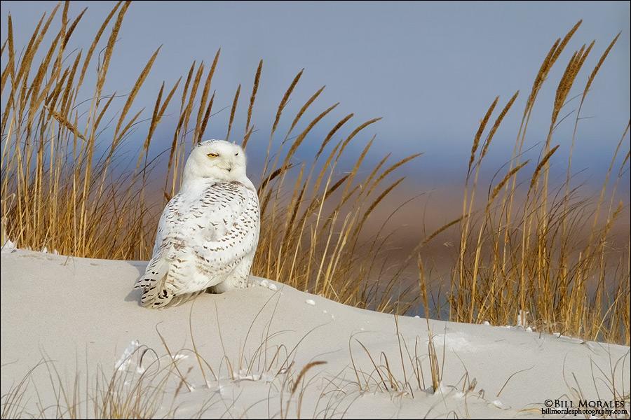 Snowy-Owl-01