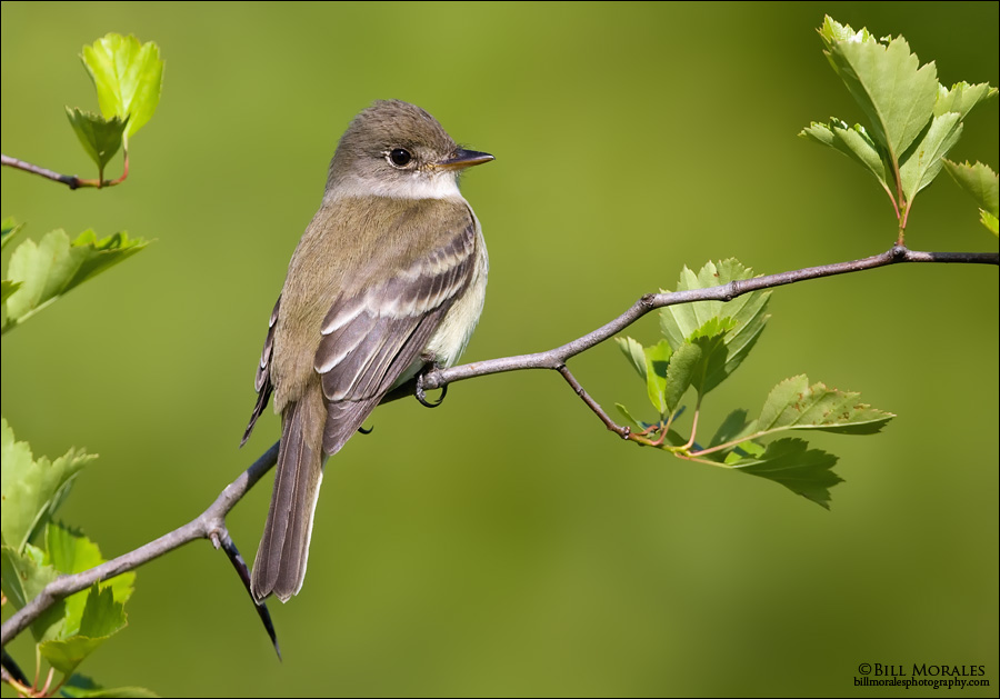 Willow-Flycatcher-01