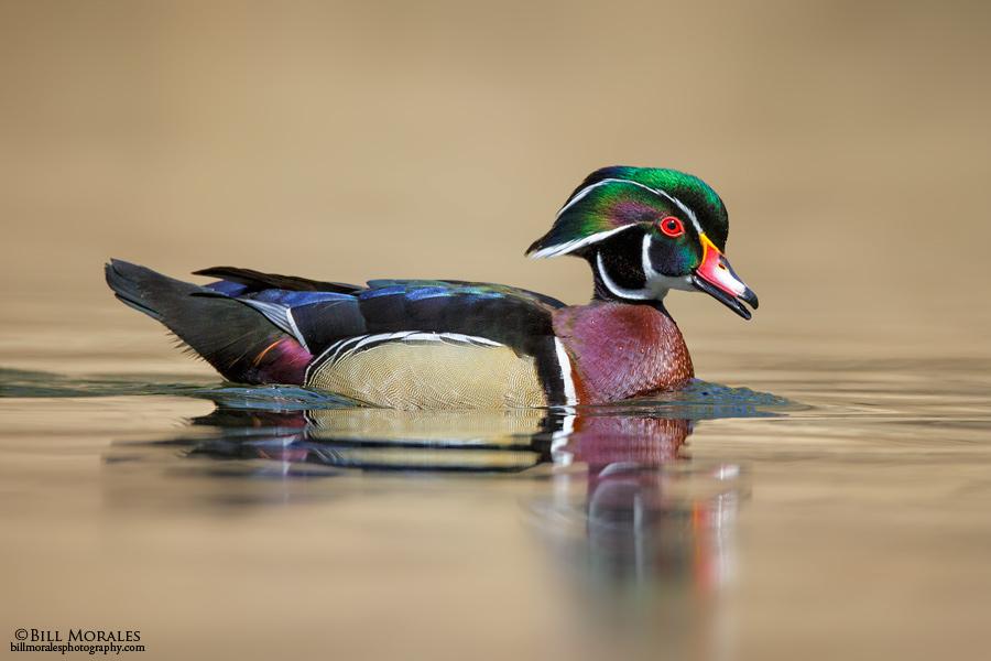 Wood-duck-01