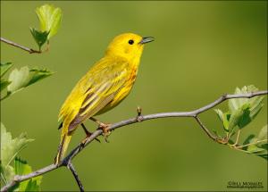 Yellow-Warbler-01