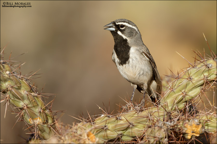 Black--throated-Sparrow-01
